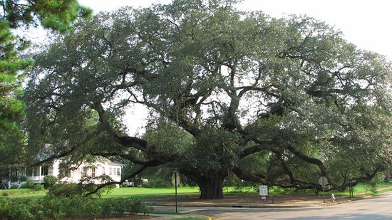 One of Columbus' many Live Oak Trees