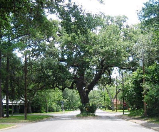 Columbus, TX: Oak tree dividing a street