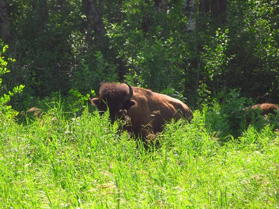 Riding Mountain National Park : One of the bison.