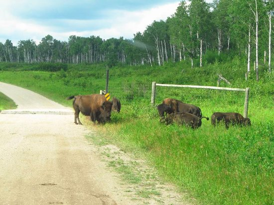 Riding Mountain National Park : Bison right in front of our truck.