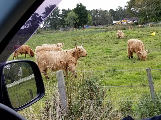 Highland cattle near Invergordon
