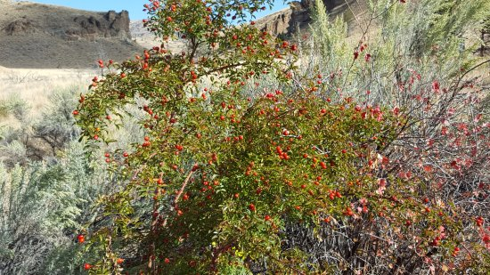 Fossil, Oregón: Wild Rose bush with ripe rose hips