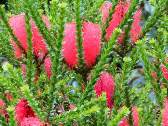 Logan Botanic Garden: I have only seen this fun shrub once before, in another Galloway garden a few years ago.