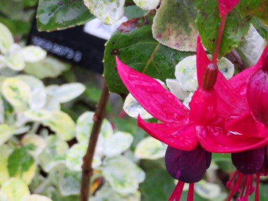 Port Logan, UK: Aubergine fuchsia - stunning!