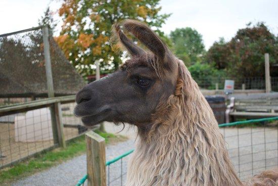 Davis' Farmland & Mega Maze: Loved this llama!