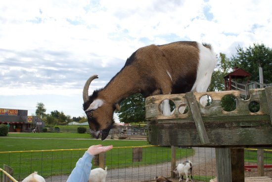 Sterling, MA: Great time feeding the goat!