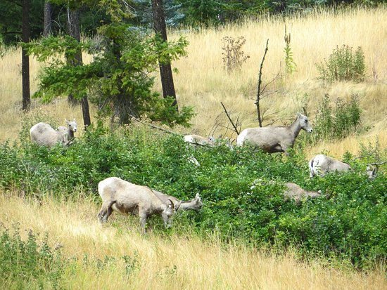 Radium Hot Springs, Canada: Mountain Goats above the parking area