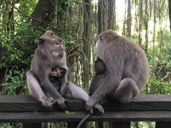 Img 20171009 Wa0002 Large Jpg Picture Of Sacred Monkey