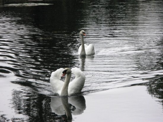 Rajecké Teplice, Slowakei: Swans on the lake