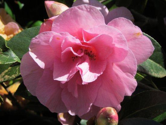 Milner Gardens & Woodland : Rhododendrons - Rosa