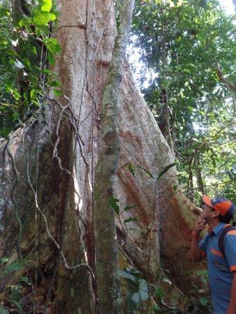 Ecoamazonia Lodge: Un tipo de arbol de la selva Shihuahuaco