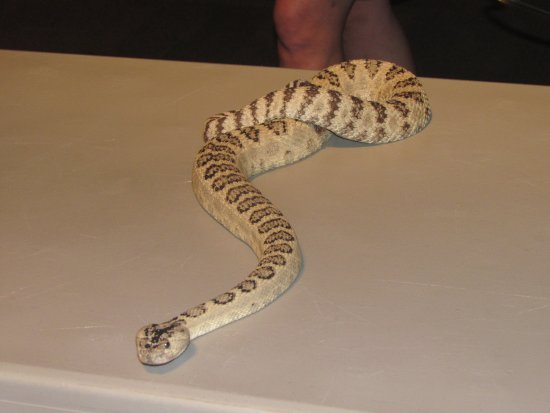 Rattlesnake Being Shown At A Demonstration Given Inside As Part Of