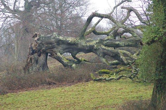Saltram (National Trust): fallen giant