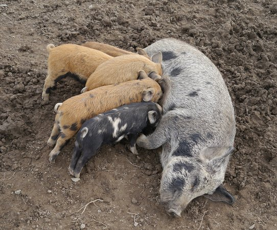 Cardigan, UK : Pigs!