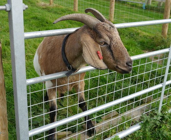 Cardigan, UK : Friendly goat.