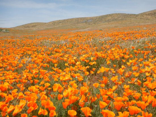 Antelope Valley California Poppy Reserve: Poppies open as the day warms up...