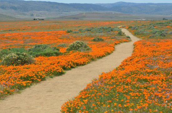 Antelope Valley California Poppy Reserve: Stay on the paths... protect the poppies and avoid the rattlesnakes.