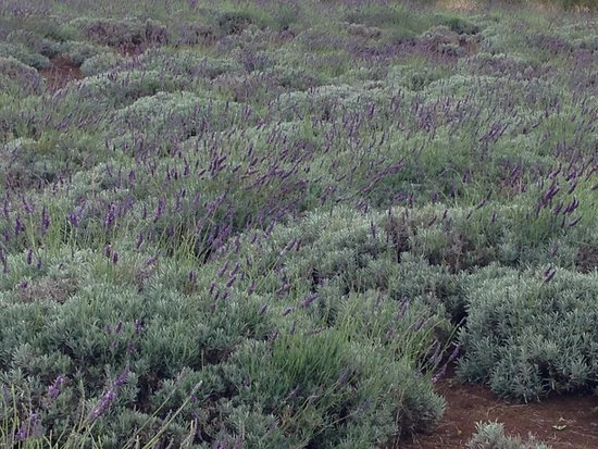 Kula, HI: Fields of lavender