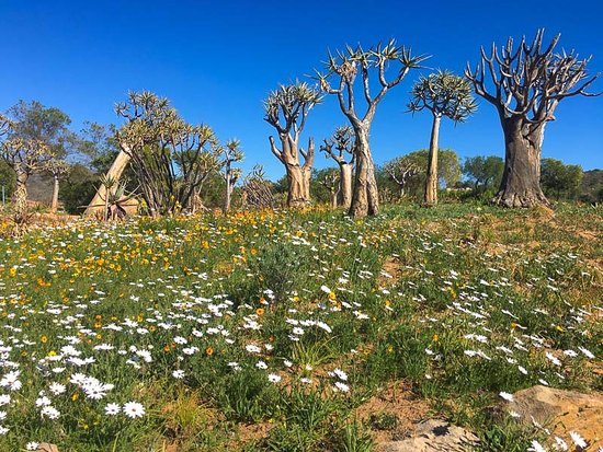 Clanwilliam, Sydafrika: flowers and quiver trees
