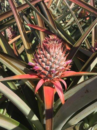 Makawao, Hawái: Baby pineapple