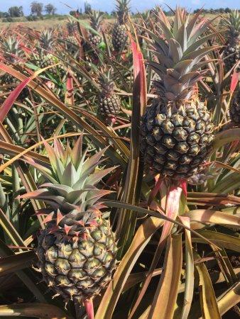 Makawao, Hawái: Pineapples growing - one per plant