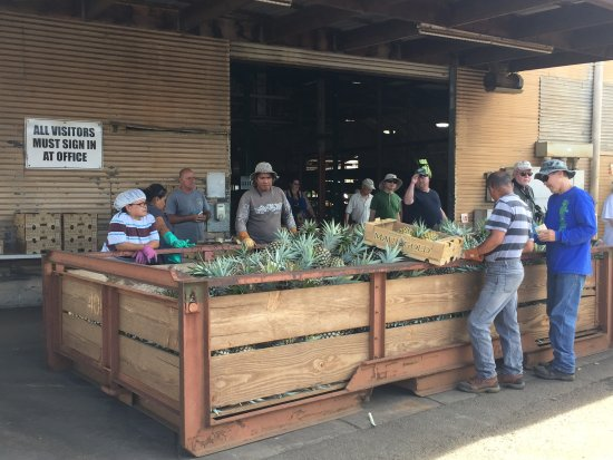 Makawao, Hawaï: Getting pineapples packaged up