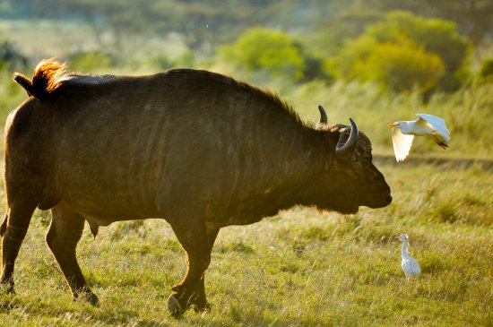 Lake Elementaita, Kenya: Buffalo