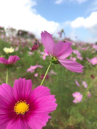 Isahaya, اليابان: コスモスの季節