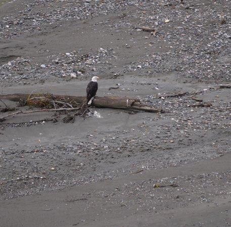 ไฮน์ส, อลาสกา: Perched eagle