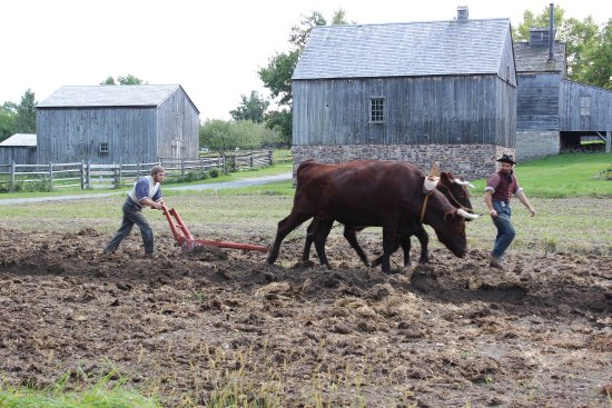 Mumford, NY: Ploughing the fields with oxen on our working 19th-century farm.