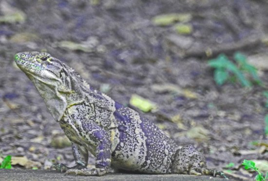 Canas, Costa Rica: Leaping Lizards