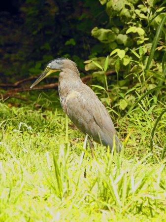 Canas, Costa Rica: Tiger Heron at the Center