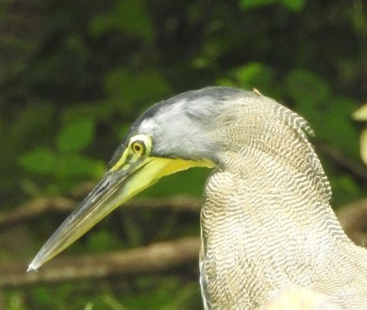 Canas, คอสตาริกา: Tiger Heron up close and personal