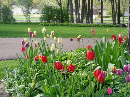 Whitehall, WI: Tulips were Linda's original passion.