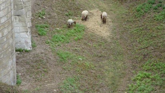 Forteresse royale de Chinon: Sheep grazing in the moat