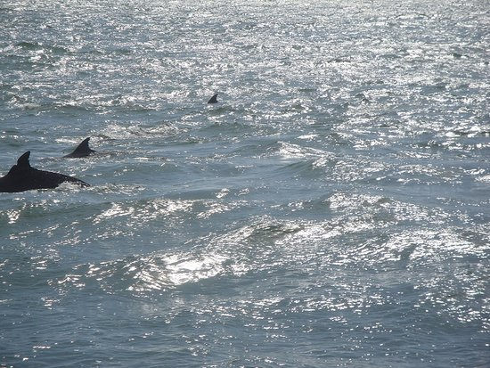 Calabash, นอร์ทแคโรไลนา: some of the many dolphins we seen on our cruise