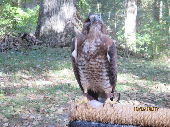 Snow Hill, MD: One eyed Hawk.