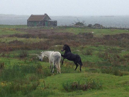 Greystones, İrlanda: Connemara Ponies