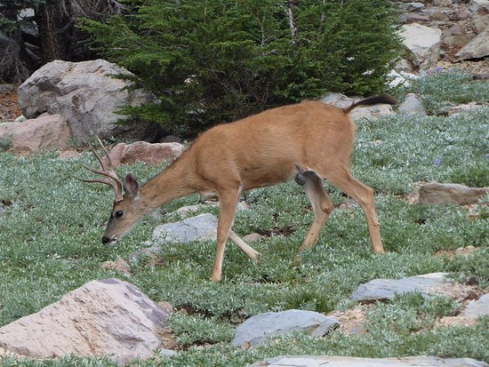Mineral, Califórnia: Buck Deer at Side of Trail
