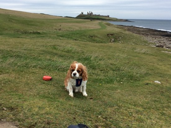 Warkworth, UK: Charlie at Dunstanburgh Castle