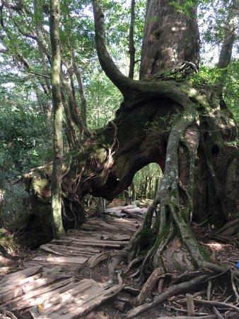 Shiratani Unsuikyo Valley (Kumage-gun Yakushima-cho, Japan) - omdömen
