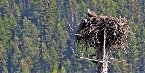 Hungry Horse, MT: saw this same nest in 2012. The osprey was busy preening and I had to do a pretty good zoom for
