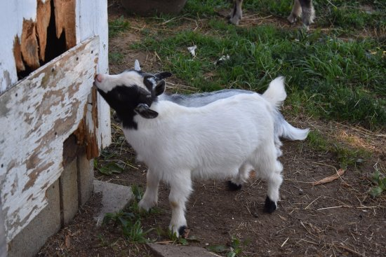 The Amish Farm and House: Baby goats on the farm