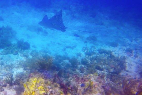 Aqua Marine Dive Center: Spotted Eagle Ray