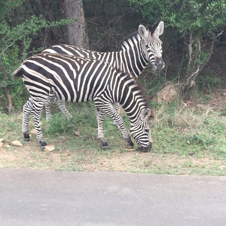 "Marloth Park, Sydafrika: Zebras ""zebbies""!"