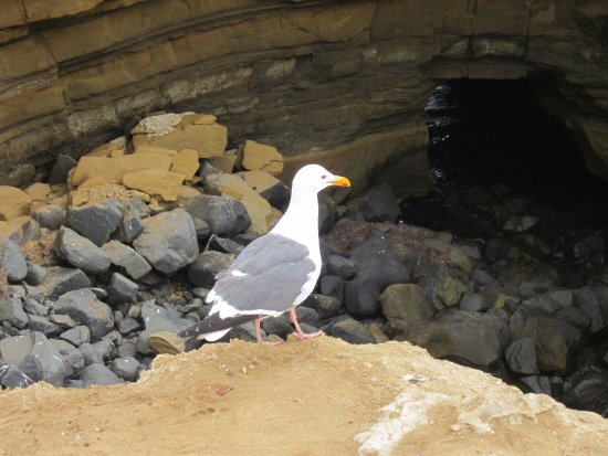 Sunset Cliffs Natural Park : The sea gulls dare to walk along the edge!