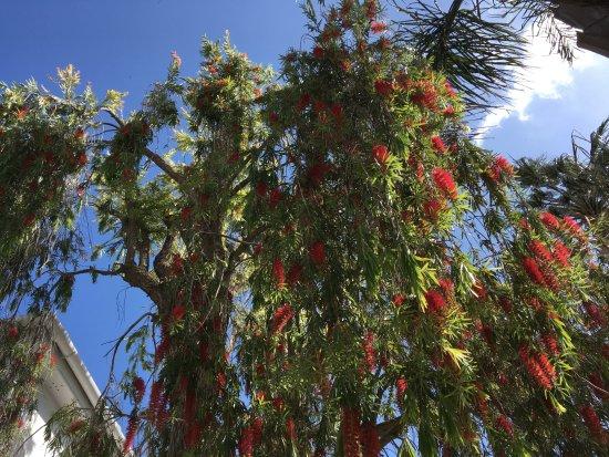 Blackheath Lodge: bottle bush tree in the garden