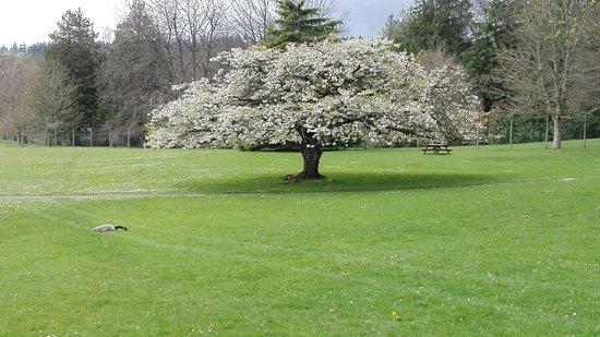 Colwood, Canada : 庭にあった桜の木