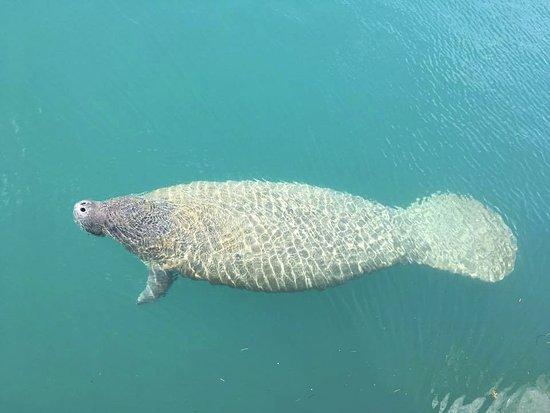 Tarpoon Lagoon Dive Center A Friendly Manatee Saying Hello By The Boat Slip