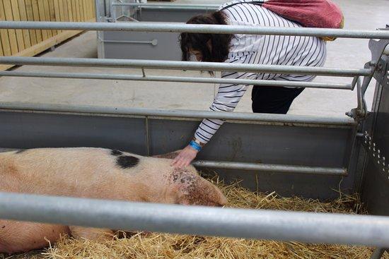Guiting Power, UK: gloucester pig